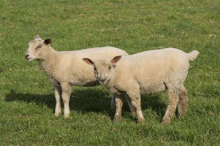 Lamb  grazing in fresh pastures Stock Photo - 6217400