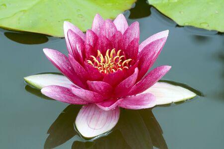 Pink waterlily closeup