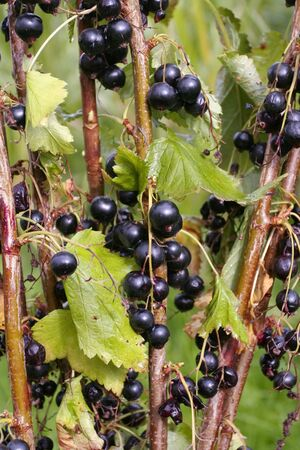 black currants: Ripe black currants on branch in summertime Stock Photo