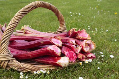 Fresh rhubarb shoots  closeup photo