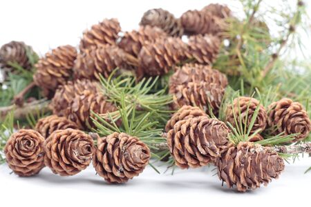 pinecones: Tree branches with pinecones in autumn over white Stock Photo