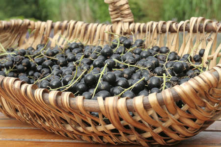 black currants: Bunch of ripe  Black currants on willow basket