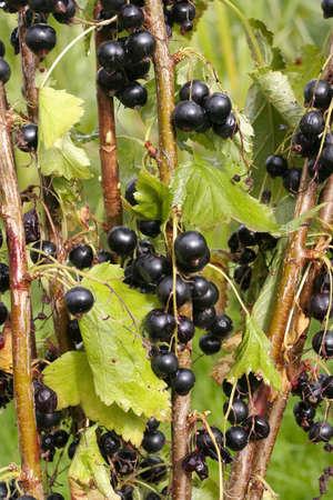 black currants: Bunch of ripe  Black currants shrub plant