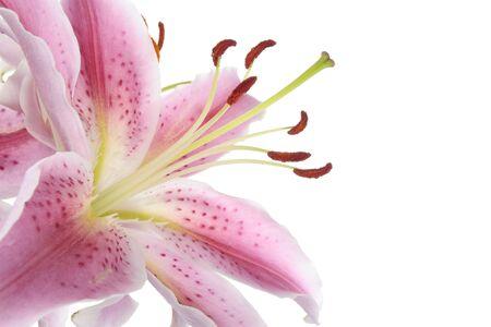 giglio: Fiore di giglio rosa over white