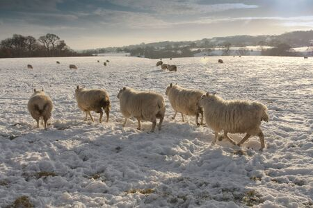 Winter landscape covered and sheep in snow Stock Photo - 9306905