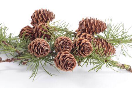pinecones: Pinecones on pine tree  branch