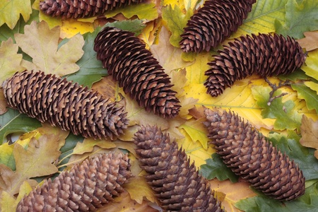 pinecones: pinecones and autumn leaves