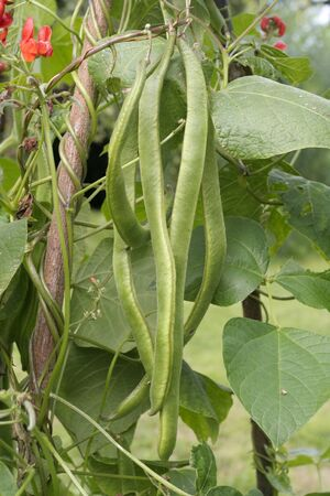 Runner beans growing on vine photo
