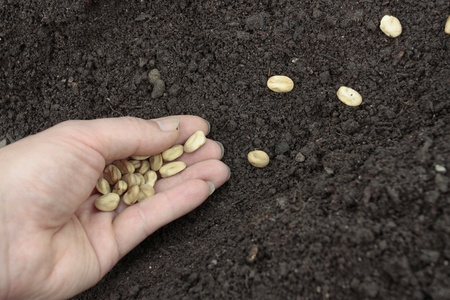 Planting of vegetable seeds in prepared soil rows photo