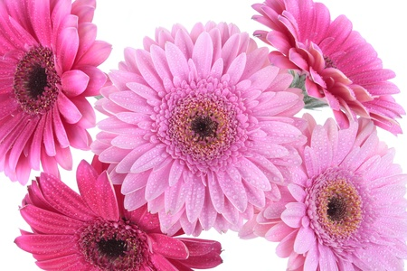 Gerbera flowers isolated on white photo