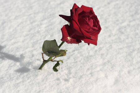 Red rose on thick snow photo