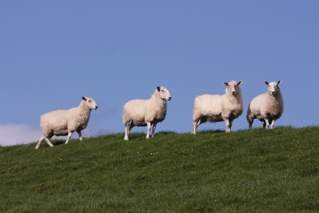 lambing: Sheep grazing in fresh pastures