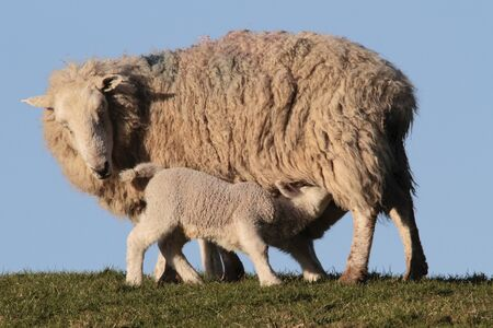 lambing: Sheep feeding lambs in  in rural countryside