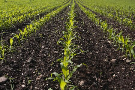 Corn seedlings growing in rural field in early spring Stock Photo