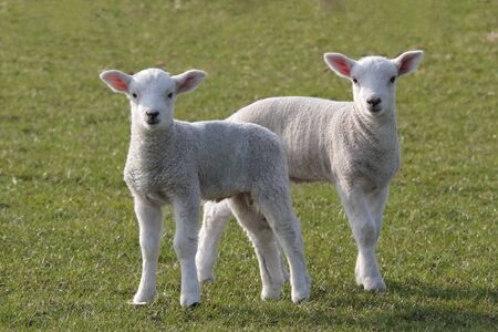 lambing: Lambs grazing in fresh pastures in rural fields