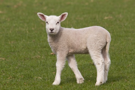 lambing: Lamb grazing in fresh pastures