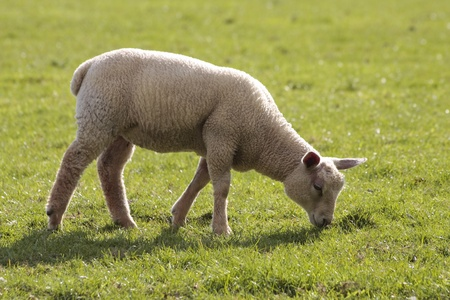 lambing: lamb grazing in rural field
