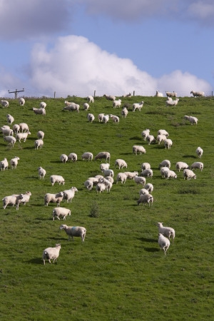 lambing: Sheep and lamb grazing
