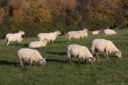 lambing: sheep grazing in rural field Stock Photo