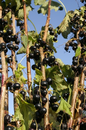 black currants: Ripe black currants plant  growing in summer