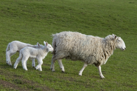lambing: Sheep and lamb grazing in rural countryside