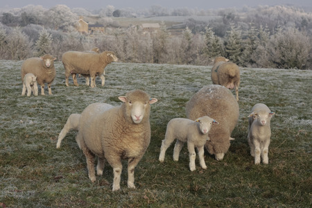 lambing: Sheep and lambs grazing in winter frost