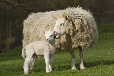 rural countryside: Sheep and lamb in rural countryside Stock Photo