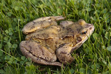 sexual reproduction: Common frog closeup on grass Stock Photo