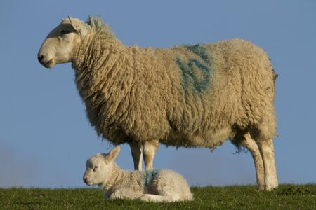 rural countryside: Sheep and lamb resting in rural countryside Stock Photo