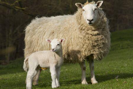 campagne rural: Les moutons et les agneaux dans le paysage rural
