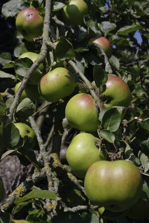 seson: Apple tree full of ripe  fruit growing in summer Stock Photo