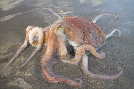stranded: Octopus stranded at beach after a storm.