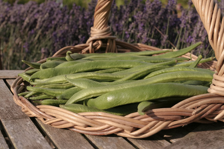 long beans: Freshly picked up broad beans