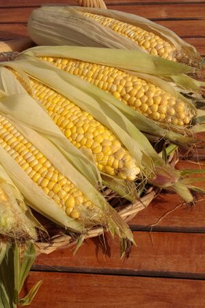 freshly picked: Freshly picked ripe corn