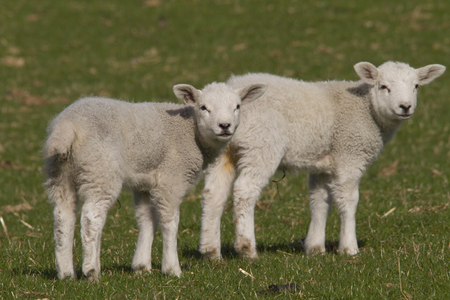 lambing: lambs grazing in rural field