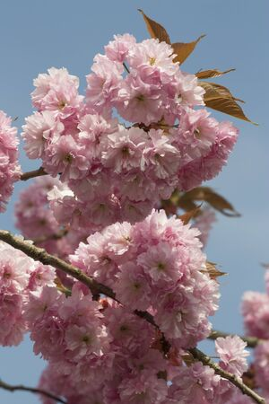 seson: Pink Cherry blossom flowers in early spring