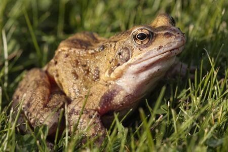 grenouille: Grenouille rousse gros plan sur l'herbe