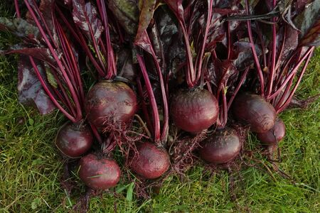 freshly picked: Freshly picked beetroot vegetables bunch