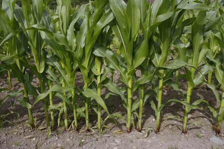 maize cultivation: Corn field crop growing in rural area