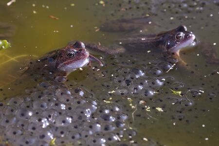 sexual reproduction: Common frog closeup in pond with spawn