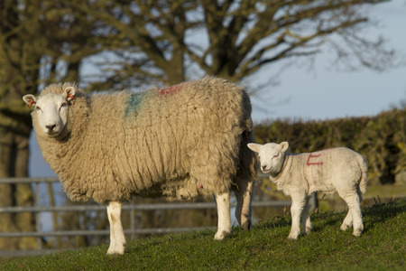lambing: Sheep and lamb resting in rural countryside Stock Photo