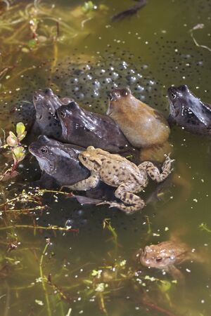 spawn: Common frog closeup in pond with spawn
