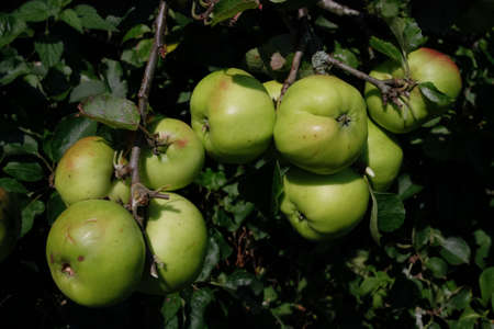 seson: Apple tree full of ripe  fruit growing in summer Stock Photo