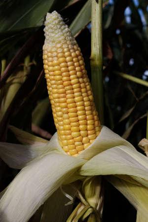 crop growing: Corn field crop growing in rural area