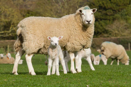 lambing: Sheep and lamb in rural countryside Stock Photo