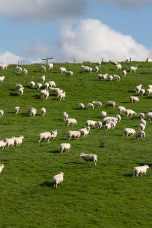 lambing: Sheep and lambs grazing in rural field Stock Photo