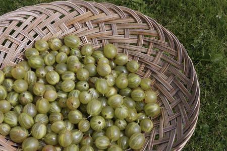 gooseberries: Freshly picked up gooseberries on basket
