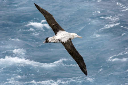 gliding: Overhead view of a Wandering Albatross  Diomedea exulans  in flight over the Atlantic Ocean