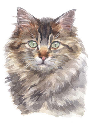 Water colour painting of Maine Coon Cat Stock Photo