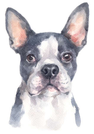 Water colour painting of Boston Terrier
